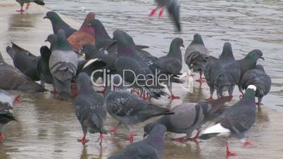 Flock of pigeons on the pier.