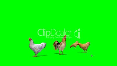 chicken with rooster and a sparrow in motion - green screen