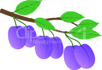 Branch of ripe plums