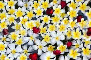 floating frangipani flowers background