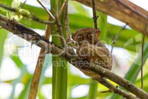 filipino tarsier