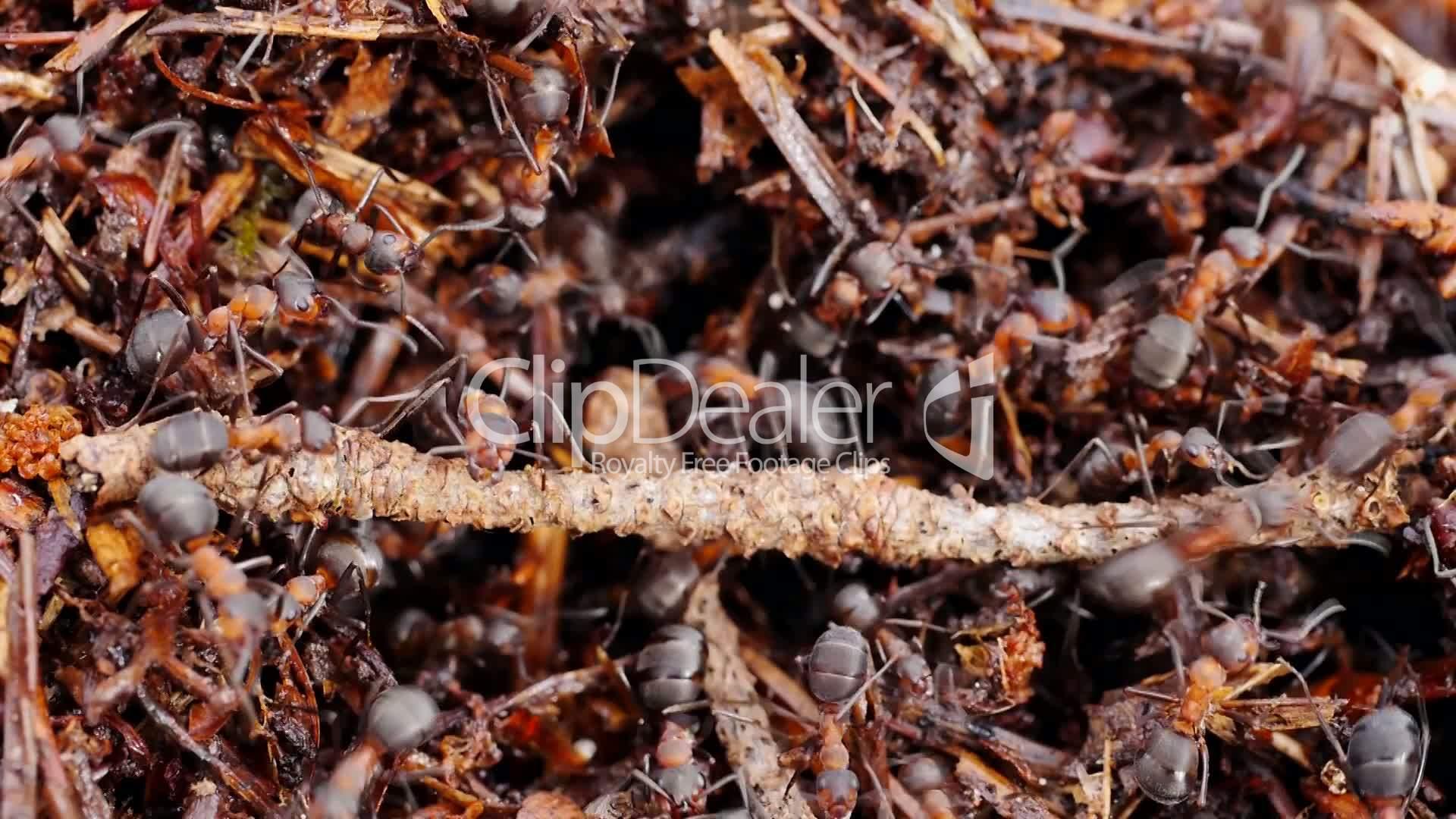 rote waldameise formica rufa v deos de archivo y clips libres de derechos. Black Bedroom Furniture Sets. Home Design Ideas