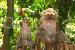 pavian, Affe, affen, monkey, monkeys, männlich, nase, essen, fressen, nahrung, primate, wildlife, paviane, tier, tiere, tiergarten, tierpark, wildnis, zoo, braun, fell, Augen, Thailand, Inselaffe, dummkopf, jungle, dschungel, menschenaffe, menschlich, urw