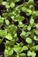 setzlinge der borretsch kräuterpflanze mit wassertopfen