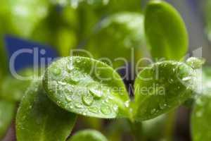 makroaufnahme  borretschpflanze mit wassertropfen