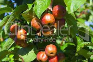 viele miniäpfel am obstbaum im sommer