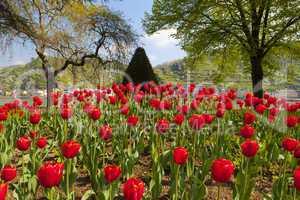 blick über ein wunderschönes tulpenbeet am rhein