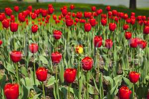 blick über ein wunderschönes tulpenbeet