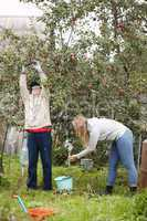 father and daughter collecting apples in the orchard