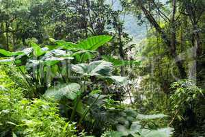giant taro plant in jungle
