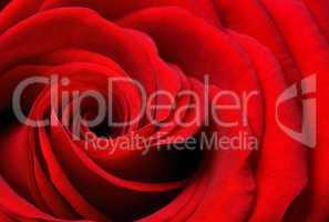 ausschnitt einer schönen rote rose