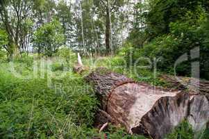 Baum, Stamm, tot, umgefallen, Wildnis, Spreewald, grün, groß, alt, stark, liegend, Baumstamm,