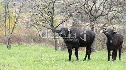 Dark Domestic Oxen