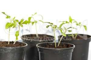 tomatenpflanze tomate betrieb