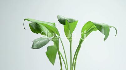 bärlauch, allium ursinum, frische pflanze