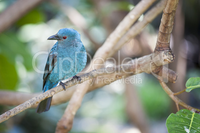 Fairy-bluebird of Malaysia and the Philippines