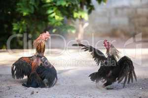 fighting cocks in a vicious attack