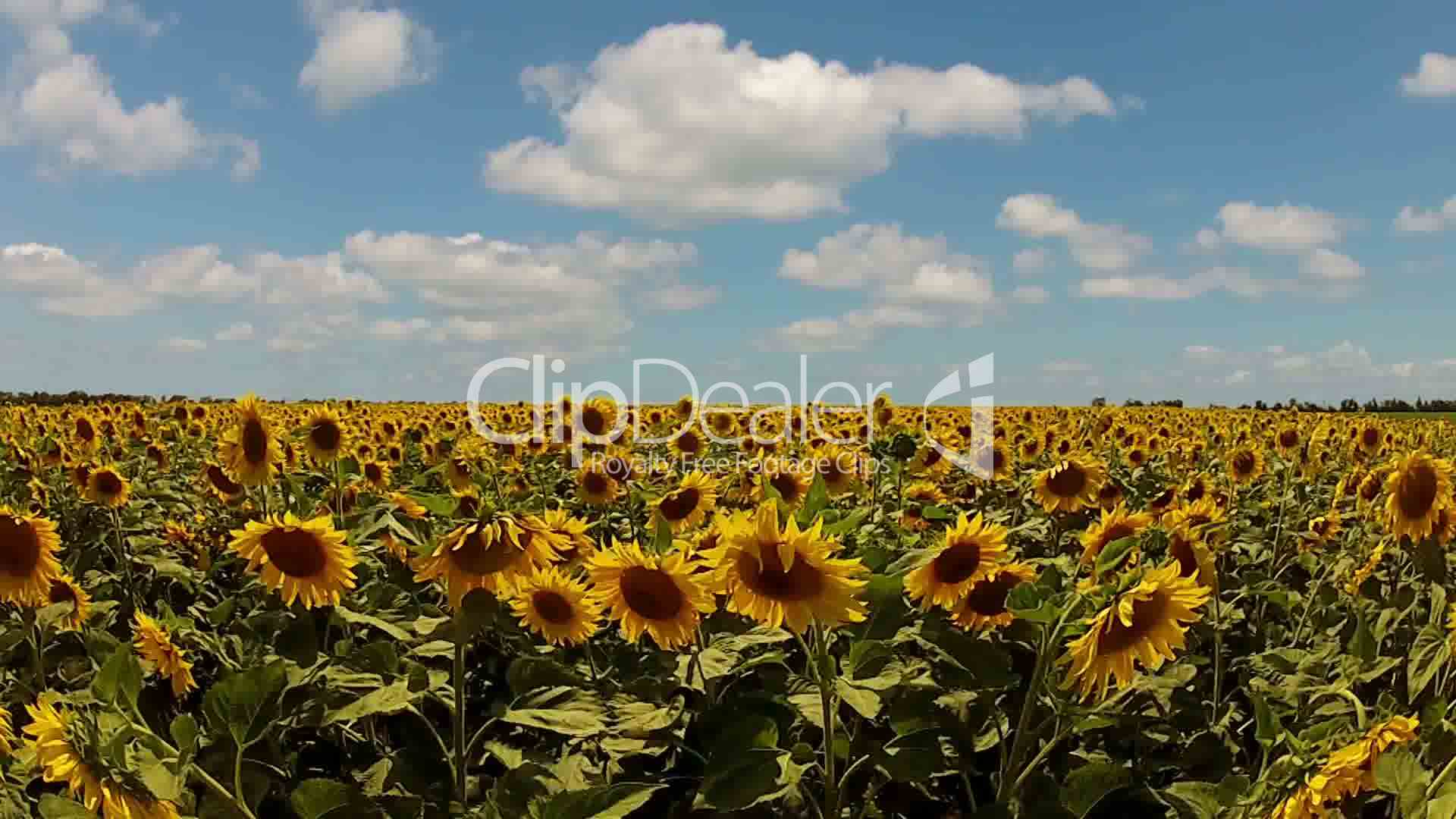 sunflowers and fast clouds lizenzfreie stock videos und clips. Black Bedroom Furniture Sets. Home Design Ideas