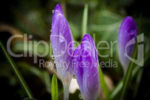 Regentropfen auf lila Krokussen