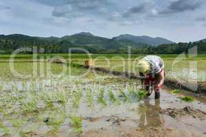 man planting rice