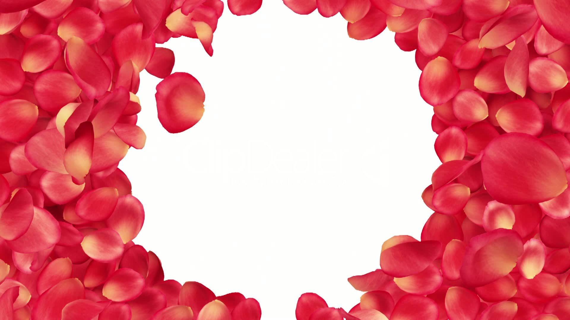 Beautiful Rose Petals Transition Useful For Greetings And Gifts