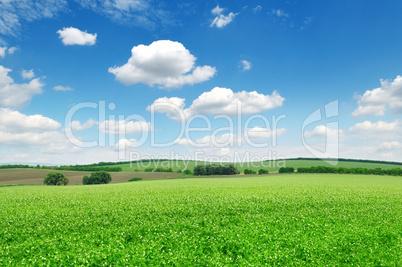 flowering field pea