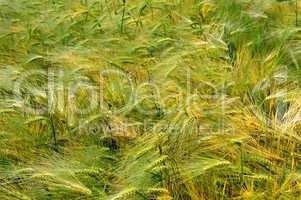 background of wheat spikes