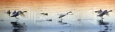 Schwäne hintereinander im Flug über dem See im Abendlicht