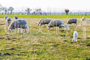 schafe und lämmer, sheeps and lambs