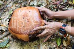 the rafflesia bud, biggest flower