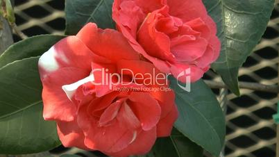 Close-up view of two full-bloomed red color UK rose.(ROSE--90a)