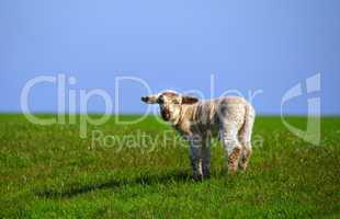 Lämmer und Schafe auf dem Deich in Westerhever Halbinsel Eidersted
