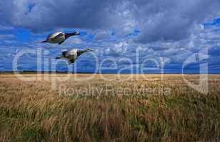 Wildgänse auf dem Flug über die Insel Eiderstedt an der Nordsee