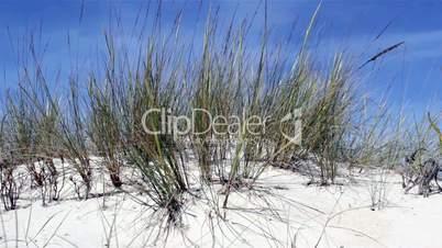 Ammophila arenaria, beachgrass. (Algarve, Portugal)