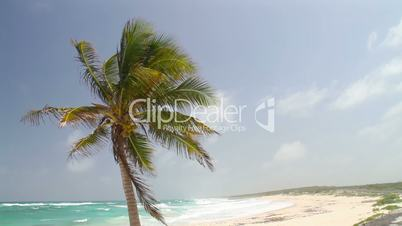 Coconut palm tree on a windy day by the beach