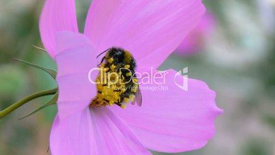 Bumblebee asleep