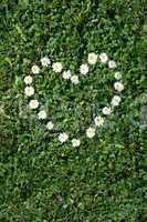 Gänseblumen Herz
