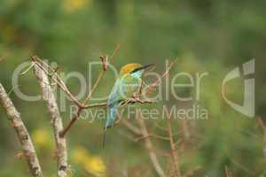 Grüner Bienen-Esser Vogel