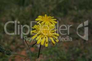 Löwenzahn gelb