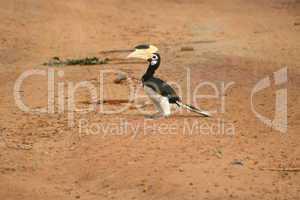 Orient Hornvogel