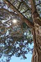 rays of the sun through the branches of the relic juniper