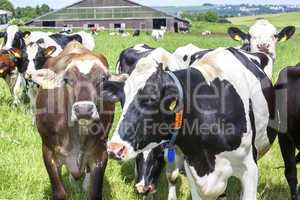 Dairy cows on pasture