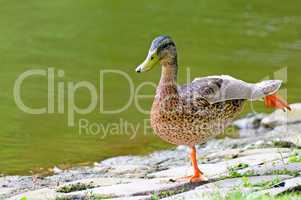 domestic duck on background pond