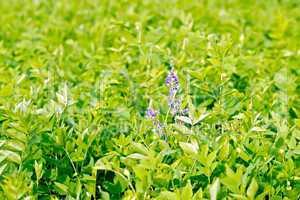Fodder crop lathyrus