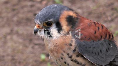 american kestrel (falco sparverius) closeup