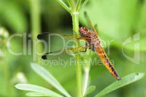 Flügel einer weiblichen Spitzenfleck Libelle