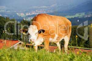 Kühe, Kuh, Gruppe, Vieh, Alm, Weide, Berg, Wiese, braun, weiß, Landschaft, schön, Panorama, Landwirtschaft, Viehhaltung,