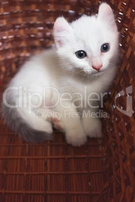 White small kitten