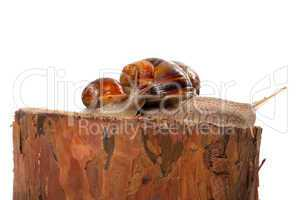 Family of snails on pine tree stump