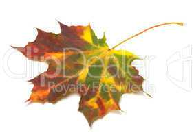 Multicolor autumnal maple-leaf